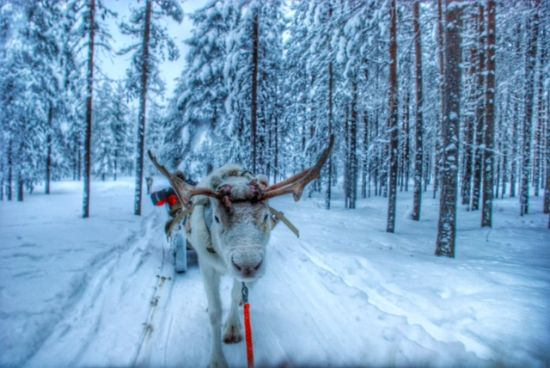 Slitta_con_renne_Finlandia_Lapland_Safaris