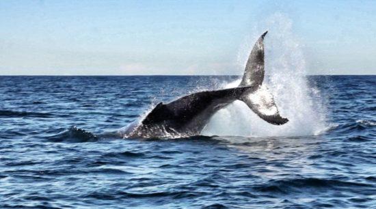 balene a Sydney