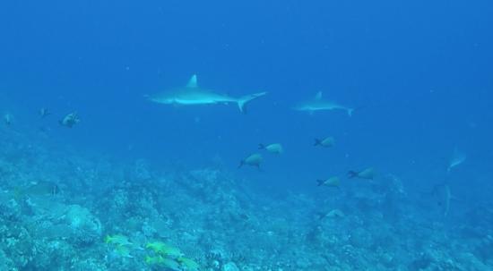 immersioni squali grigi noumea